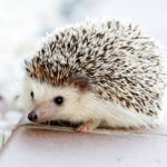 10 Amazing Hedgehog Facts You Didn't Know
