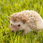 African Pygmy Hedgehog: The Ultimate Guide