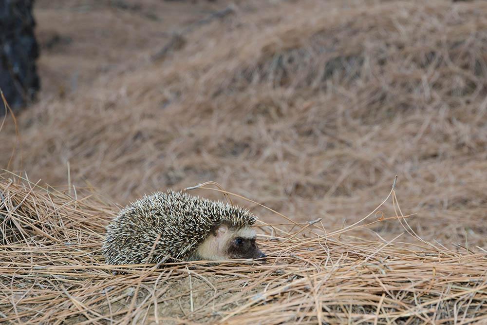 Algerian Hedgehog: The ULTIMATE Guide