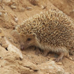 Amur Hedgehog: The ULTIMATE Guide