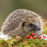 Are Hedgehogs Important And Why?