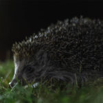 Are Hedgehogs Nocturnal? Everything You Need To Know