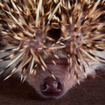 Are Hedgehogs Noses Supposed To Be Wet: What You Need To Know