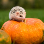Are Pumpkins Bad For Hedgehogs: Everything You Need To Know