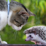Are Hedgehogs Good With Cats: Everything You Should Know