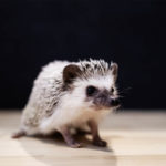 Are Hedgehogs Smart: Everything You Should Know