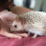 Are Pet Hedgehogs Affectionate: Everything You Should Know
