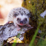Can Hedgehogs Climb: Everything You Should Know