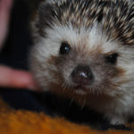 Can Hedgehogs Cough: Everything You Should Know
