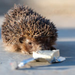 Can Hedgehogs Eat Cheese: Everything You Need To Know