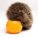 Can Hedgehogs Eat Oranges: Everything You Need To Know