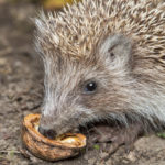 Can Hedgehogs Eat Peanuts: Everything You Should Know