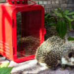 Can I Relocate A Hedgehog: Everything You Should Know