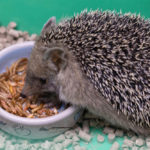 Can You Feed Hedgehogs Mealworms?