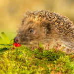 Can Hedgehogs Eat Bird Seed: Everything You Should Know