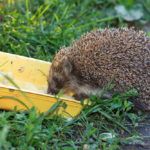 Can Hedgehogs Eat Peanut Butter: Everything You Should Know