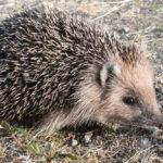 Daurian Hedgehog: The ULTIMATE Guide