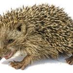 Desert Hedgehog: The ULTIMATE Guide