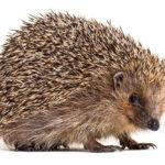 European Hedgehog: The ULTIMATE Guide
