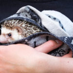 Hedgehog As A Pet: Ultimate Guide (And Is It Legal)