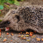 Hedgehog Diet In The Wild: What Do They Eat?
