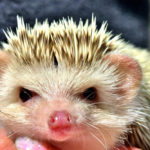 Hedgehog Ears: Care Guides & Health Issues