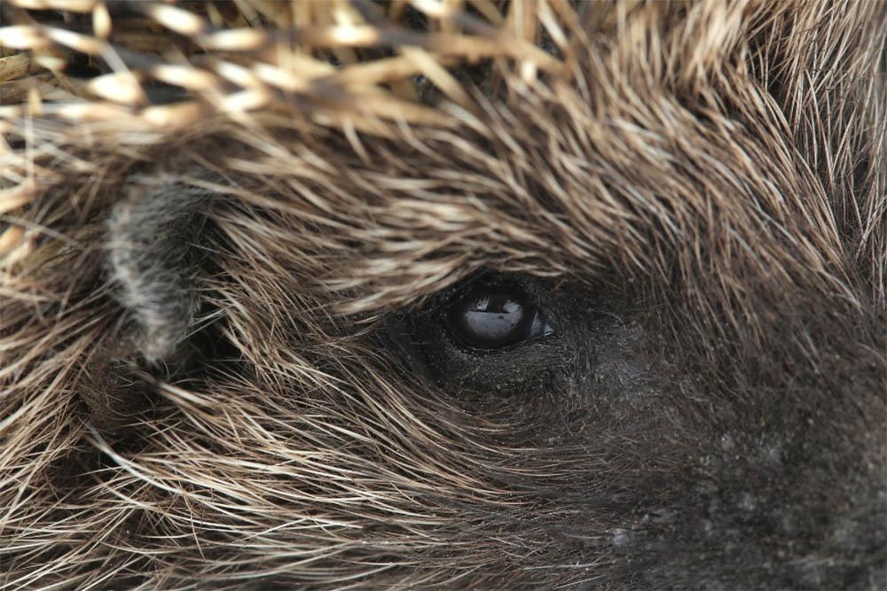 Hedgehog Eyes