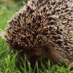 Hedgehog Hibernation: Everything You Need To Know