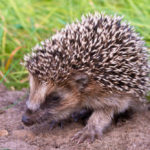 Hedgehog Life Cycle: Everything You Need To Know