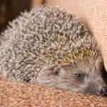 Can A Hedgehog Live With A Guinea Pig?