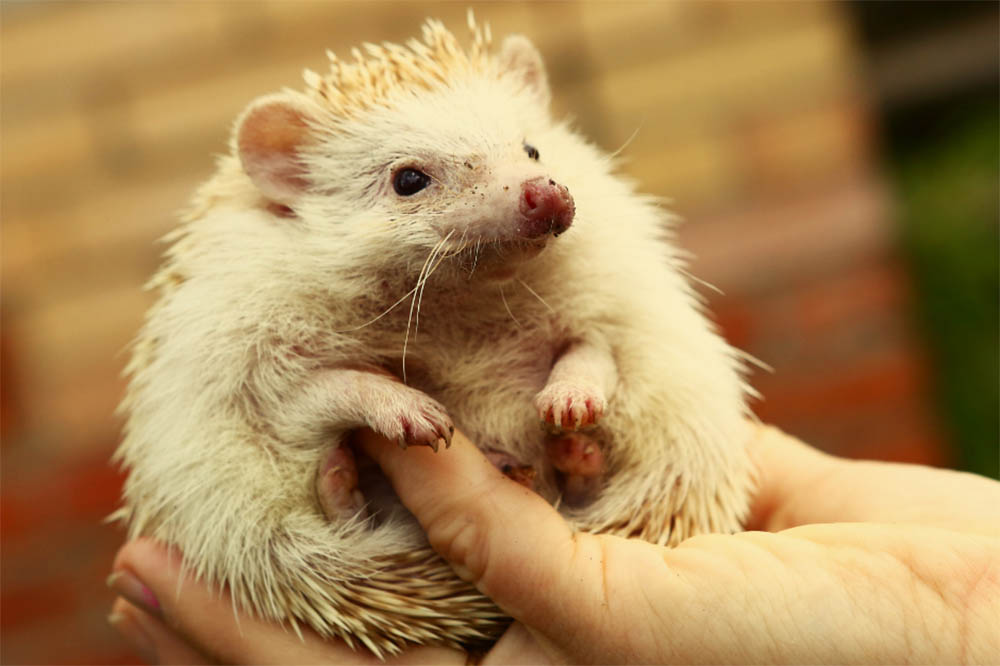 Hedgehog Mites: Everything You Need To Know