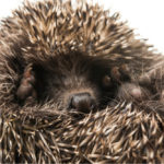 Hedgehog Penis: Everything You Need To Know