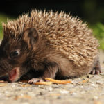 Hedgehog Predators: Who And Where Are They