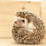 Hedgehog Price: How Much Do They Cost?