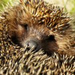 Hedgehog Quills: Everything You Need to Know