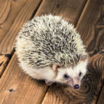 Hedgehog Respiratory Issues: What You Need To Know