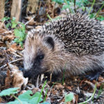 Hedgehog Skeleton: Everything You Need To Know