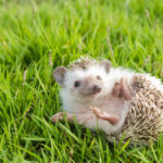 Hedgehog Sneezing: Everything You Need To Know