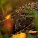 Hedgehog Sounds: What Sounds Do They Make?