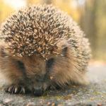Hedgehog Vomit: What It Looks Like & More