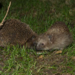Hedgehog Mating: When, How and More