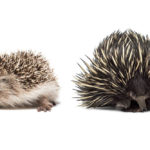 Hedgehog Vs Echidna: Are They The Same?
