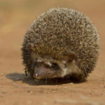 Indian Hedgehog: The ULTIMATE Guide