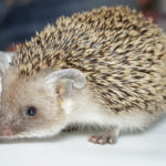 Indian Long-Eared Hedgehog: The ULTIMATE Guide