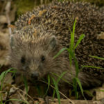 Northern White-Breasted Hedgehog: The ULTIMATE Guide