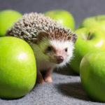 Somali Hedgehog: The ULTIMATE Guide