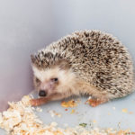 Southern African Hedgehog: The Ultimate Guide