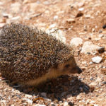 Southern White-Breasted Hedgehog: The ULTIMATE Guide