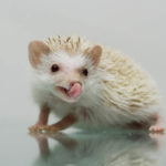 Why Do Hedgehogs Lick?: What You Should Know